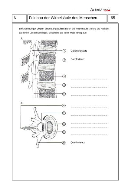 Feinbau der Wirbelsäule / Natur - Mensch - Gesellschaft / Biologie ...